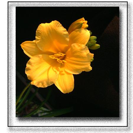 """фото """"Da Lily Stella D`oro"""" метки: макро и крупный план, природа, цветы"""