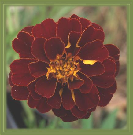 """фото """"позвольте представиться"""" метки: природа, макро и крупный план, цветы"""