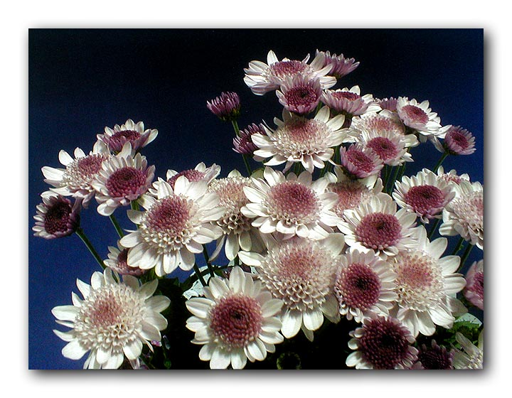 "фото ""crisantemos"" метки: натюрморт,"