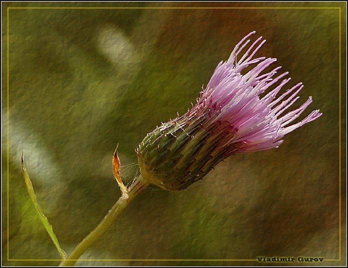 """фото """"Просто сорняк"""" метки: природа, макро и крупный план, цветы"""