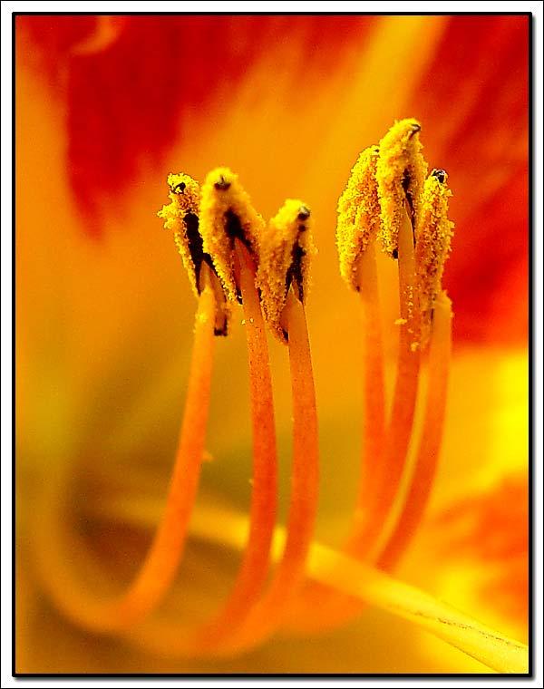 """фото """"Fire"""" метки: природа, макро и крупный план, цветы"""