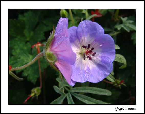 """фото """"Dewy Geranium"""" метки: макро и крупный план, природа, цветы"""