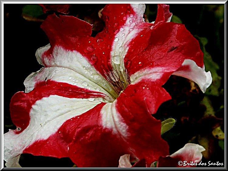 "фото ""Red and White"" метки: природа, цветы"