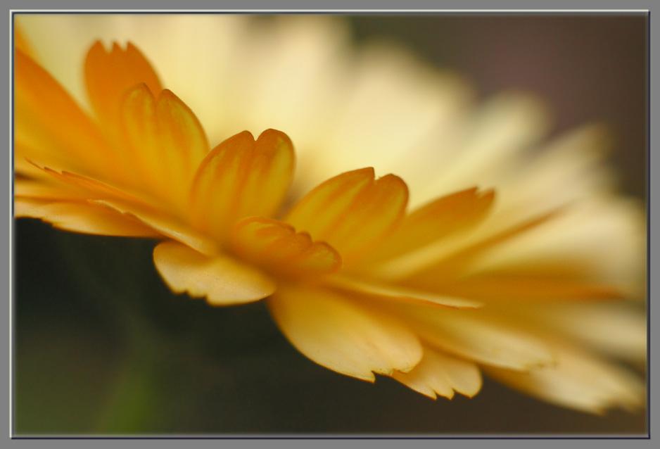 """фото """"Летающая тарелка"""" метки: природа, макро и крупный план, цветы"""