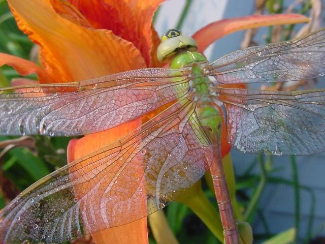 """фото """"Wings"""" метки: природа, макро и крупный план, насекомое"""