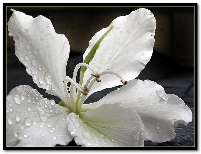 """фото """"Bride"""" метки: макро и крупный план, природа, цветы"""