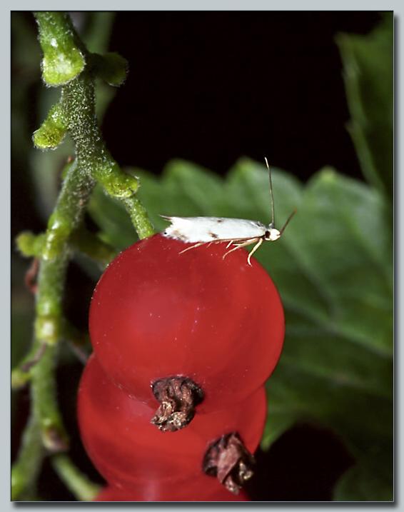"""фото """"Моль"""" метки: макро и крупный план, природа, насекомое"""