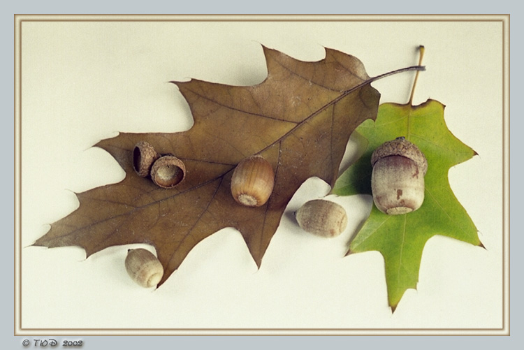 "фото ""Желуди"" метки: природа, натюрморт, цветы"