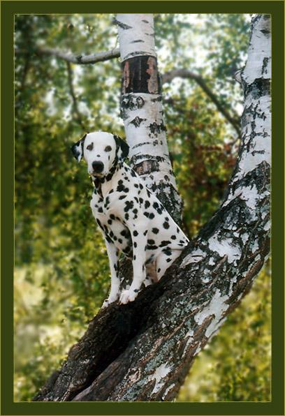 """фото """"березовая # 2"""" метки: природа, домашние животные"""