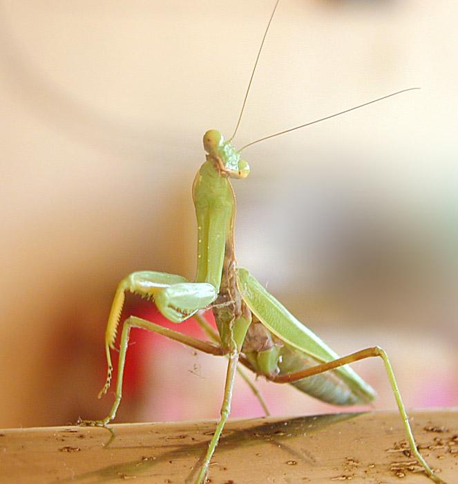 """фото """"Before Attack"""" метки: макро и крупный план, природа, насекомое"""
