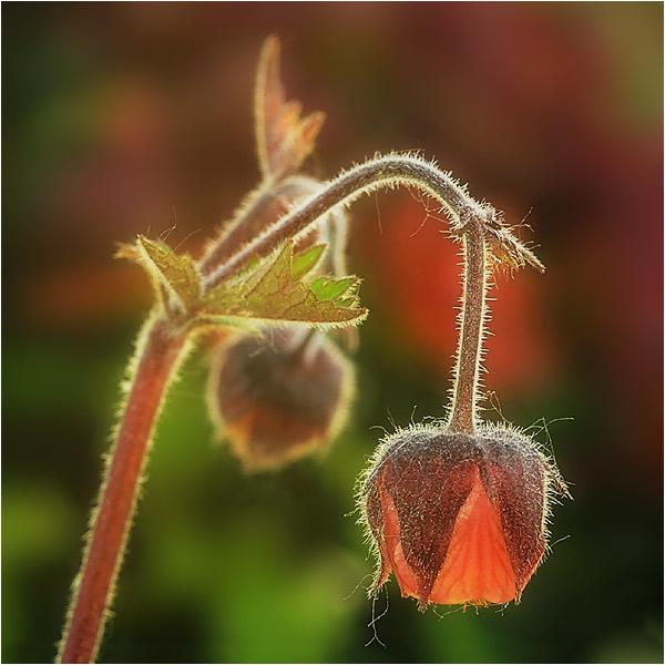 "фото ""A hairy herb"" метки: природа, цветы"