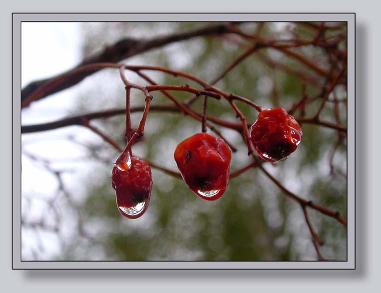 """фото """"Дождь...Дождь..."""" метки: натюрморт, природа, цветы"""