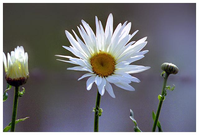 """фото """"Time of daisies"""" метки: макро и крупный план, природа, цветы"""