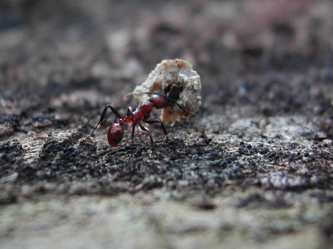 """фото """"Super Ant"""" метки: природа, макро и крупный план, насекомое"""