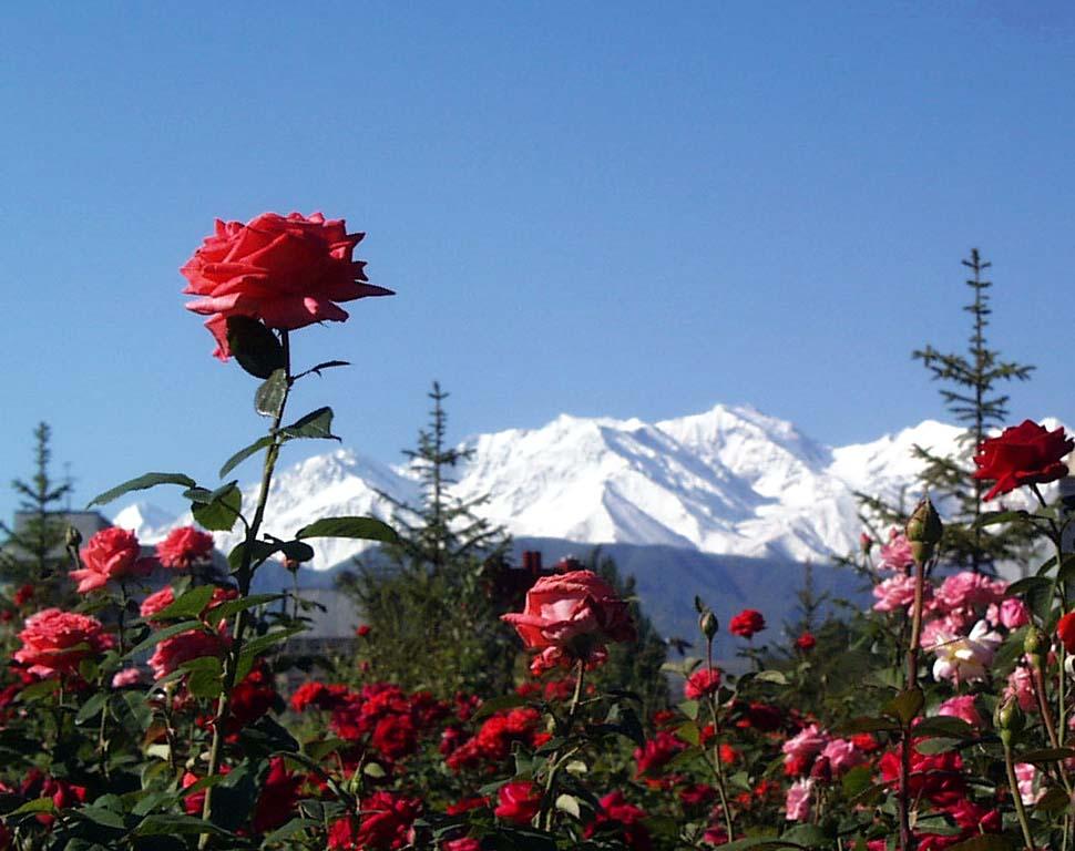 """фото """"Выше гор могут быть только ... розы"""" метки: природа, фотомонтаж, цветы"""