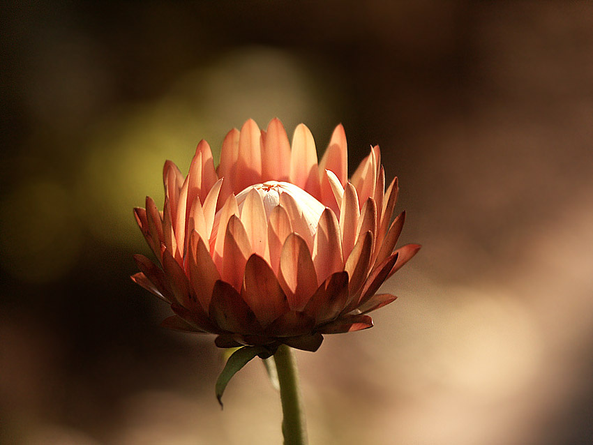 """фото """"бессмертник #4"""" метки: природа, цветы"""