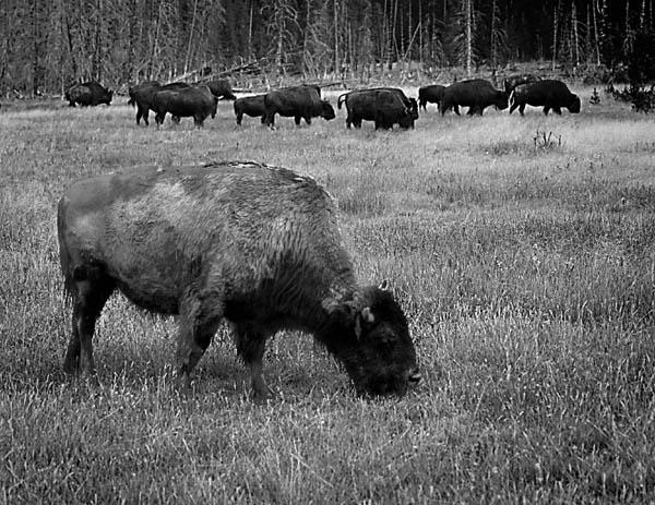 """фото """"Where the buffalos roam"""" метки: природа, путешествия, Северная Америка, дикие животные"""