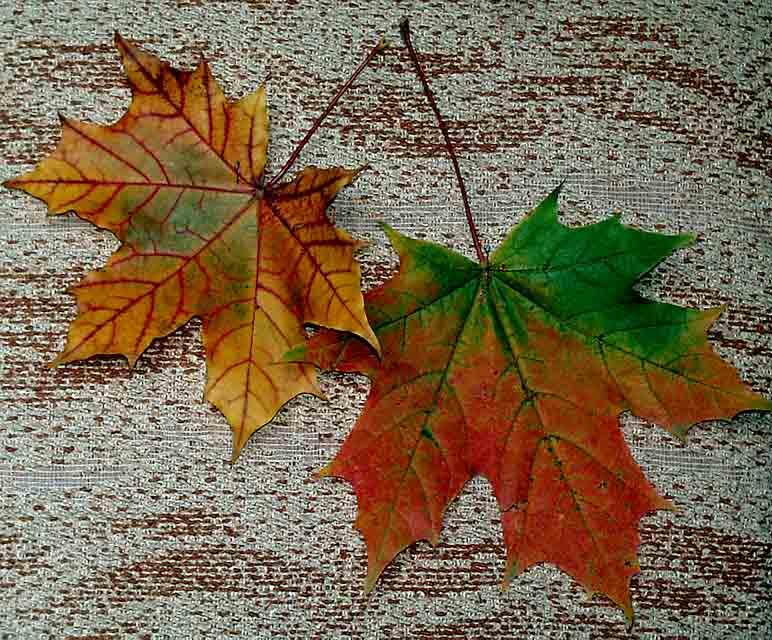 """фото """"Листья"""" метки: натюрморт, фотомонтаж,"""