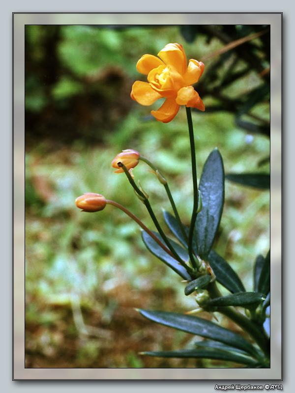 """фото """"Барбарис"""" метки: макро и крупный план, природа, цветы"""