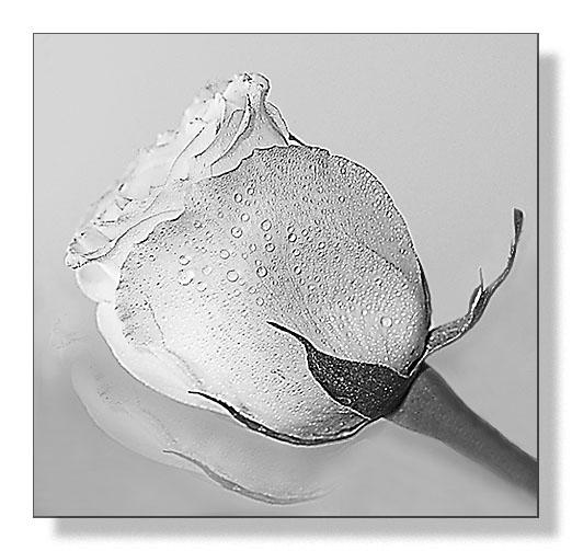 """фото """"Нежность..."""" метки: природа, натюрморт, цветы"""
