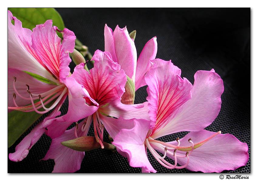 """фото """"Petals in Fire"""" метки: макро и крупный план, природа, цветы"""