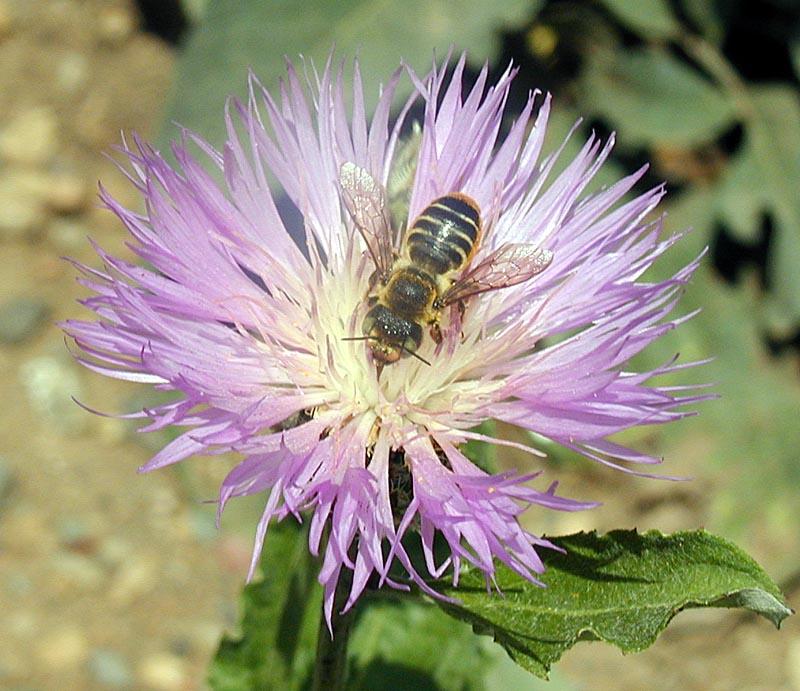 """фото """"Flower-Bee Composition"""" метки: макро и крупный план, природа, насекомое"""
