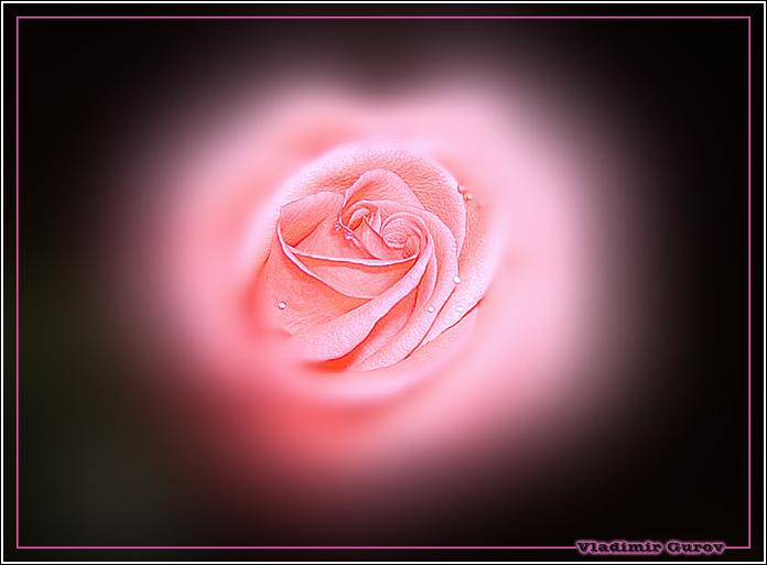 """фото """"Нежность"""" метки: природа, цветы"""