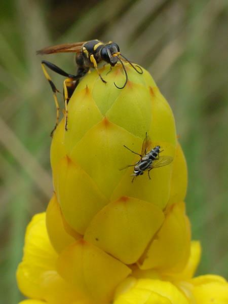 """фото """"Wasp"""" метки: природа, насекомое"""