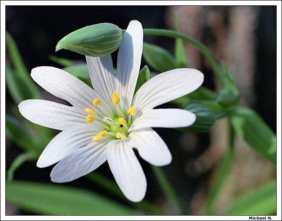 """фото """"Белое"""" метки: природа, макро и крупный план, цветы"""