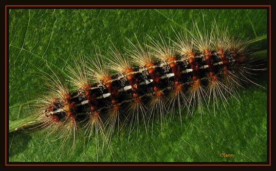 "фото ""Oruga"" метки: природа, насекомое"