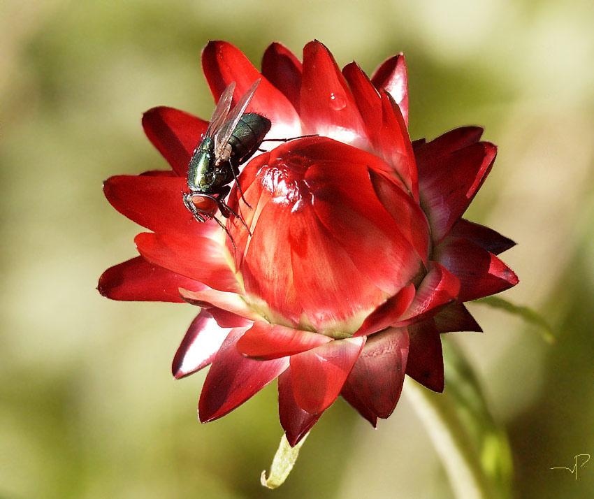 """фото """"мне идет #3"""" метки: природа, насекомое, цветы"""