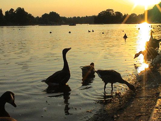 """фото """"Гуси..."""" метки: природа, пейзаж, домашние животные, закат"""