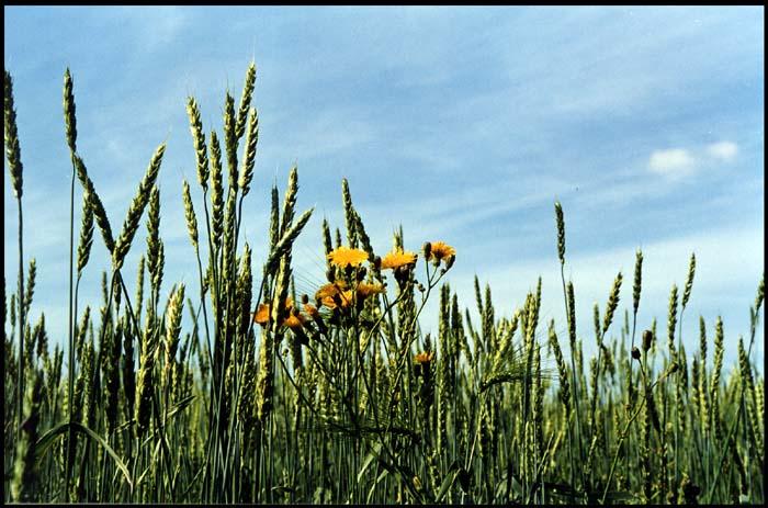 """фото """"Ложка дёгтя"""" метки: природа, цветы"""