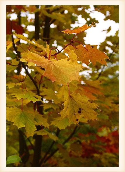 """фото """"Кленовые Лапы"""" метки: пейзаж, природа, осень, цветы"""
