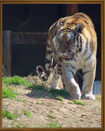 "фото ""Siberian Tigress"" метки: природа, дикие животные"