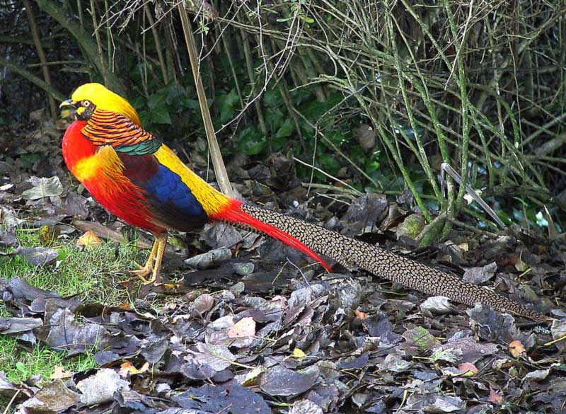 "фото ""'Golden Pheasant'"" метки: природа, дикие животные"