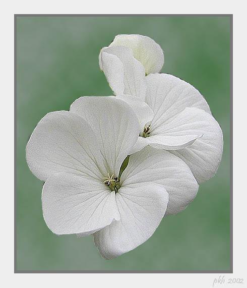 """фото """"White Pelargonie"""" метки: природа, цветы"""