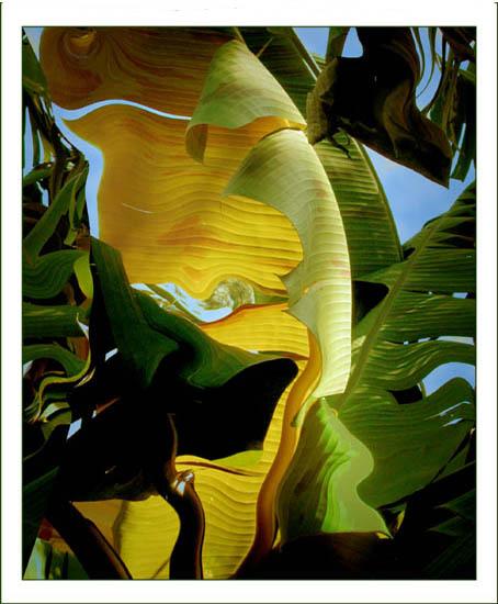 """фото """"Banana Leaf Abstract"""" метки: абстракция,"""