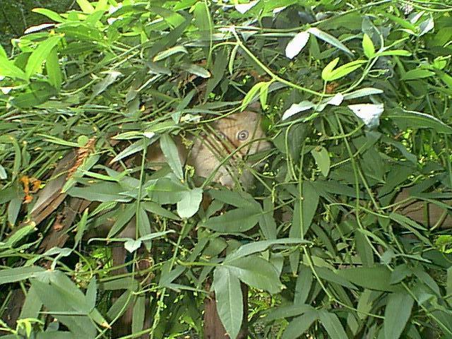 "фото ""Bush Kitty"" метки: природа, домашние животные"