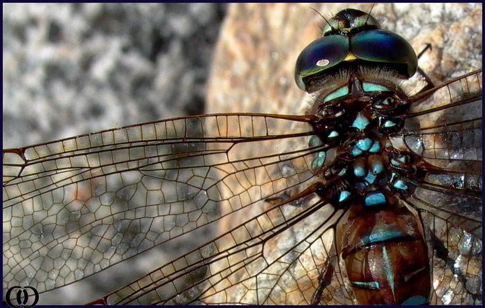 "фото ""Unstained Glass Window"" метки: природа, насекомое"