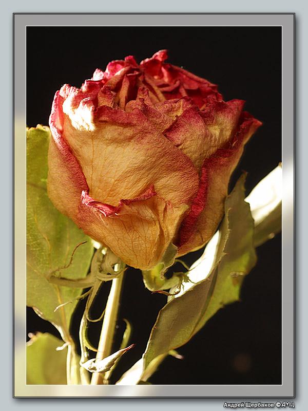 """фото """"Красота не стареет"""" метки: макро и крупный план, природа, цветы"""