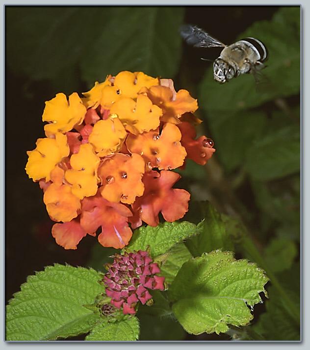 """фото """"Тормозим?"""" метки: природа, насекомое, цветы"""