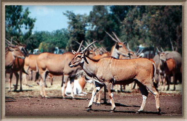 """фото """"Вождь племени"""" метки: природа, жанр, дикие животные"""