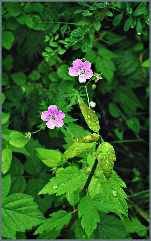"""фото """"После дождя"""" метки: природа, цветы"""