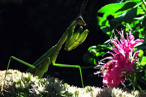 """фото """"** Alien **"""" метки: макро и крупный план, природа, насекомое"""