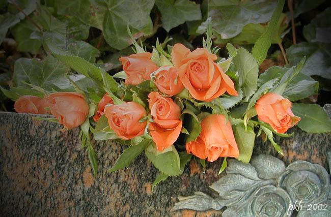 """фото """"Orange rose"""" метки: природа, цветы"""