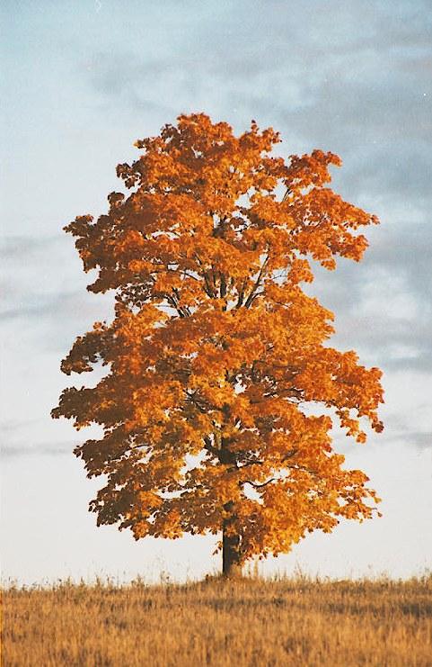 """фото """"``Maple tree`` from series Fall"""" метки: пейзаж, осень"""