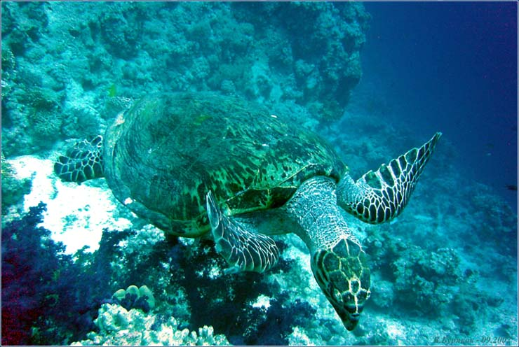 """фото """"Даже черепахи могут летать... но только под водой."""" метки: путешествия, природа, Африка"""