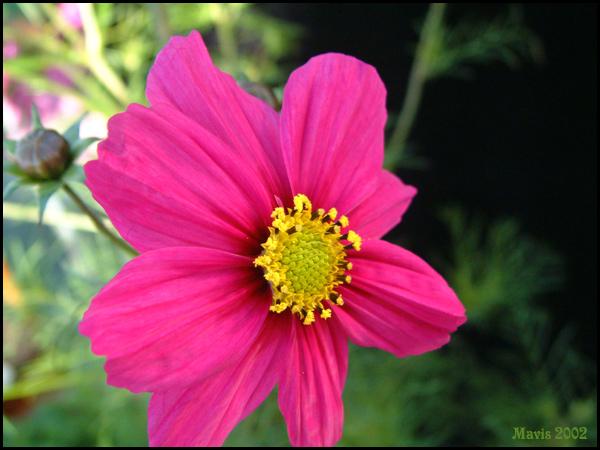 """фото """"Cosmos close up ."""" метки: макро и крупный план, природа, цветы"""