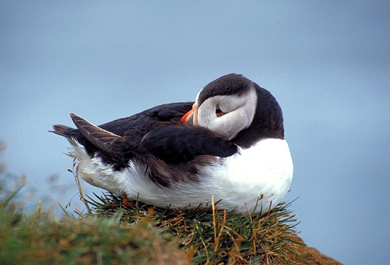 "photo ""Sleepy Puffin"" tags: nature, landscape, mountains, wild animals"